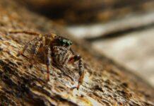 Spider bite during pregnancy